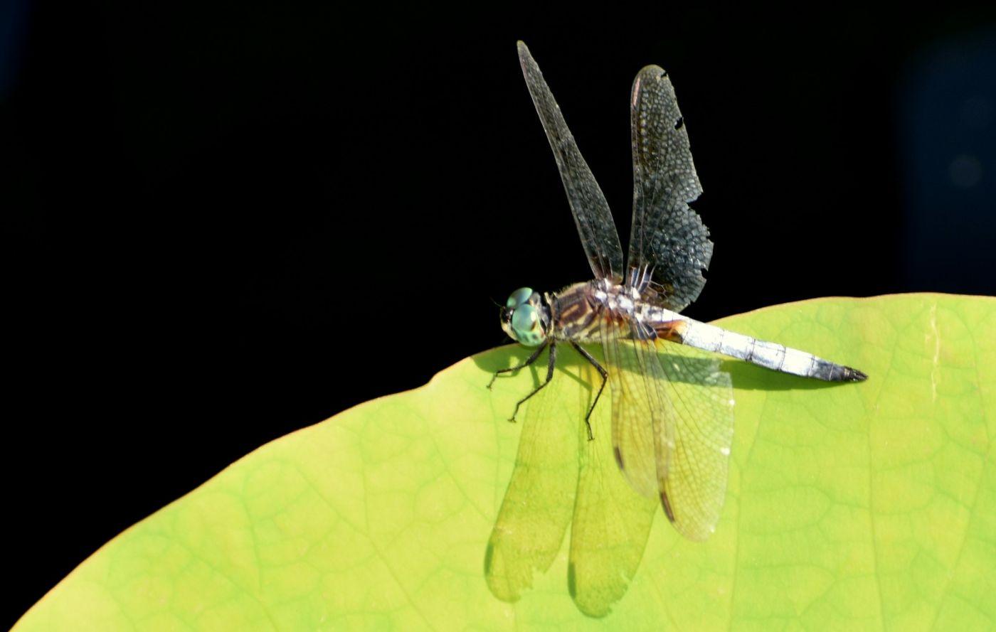 轻盈秀丽的蜻蜓_图1-3