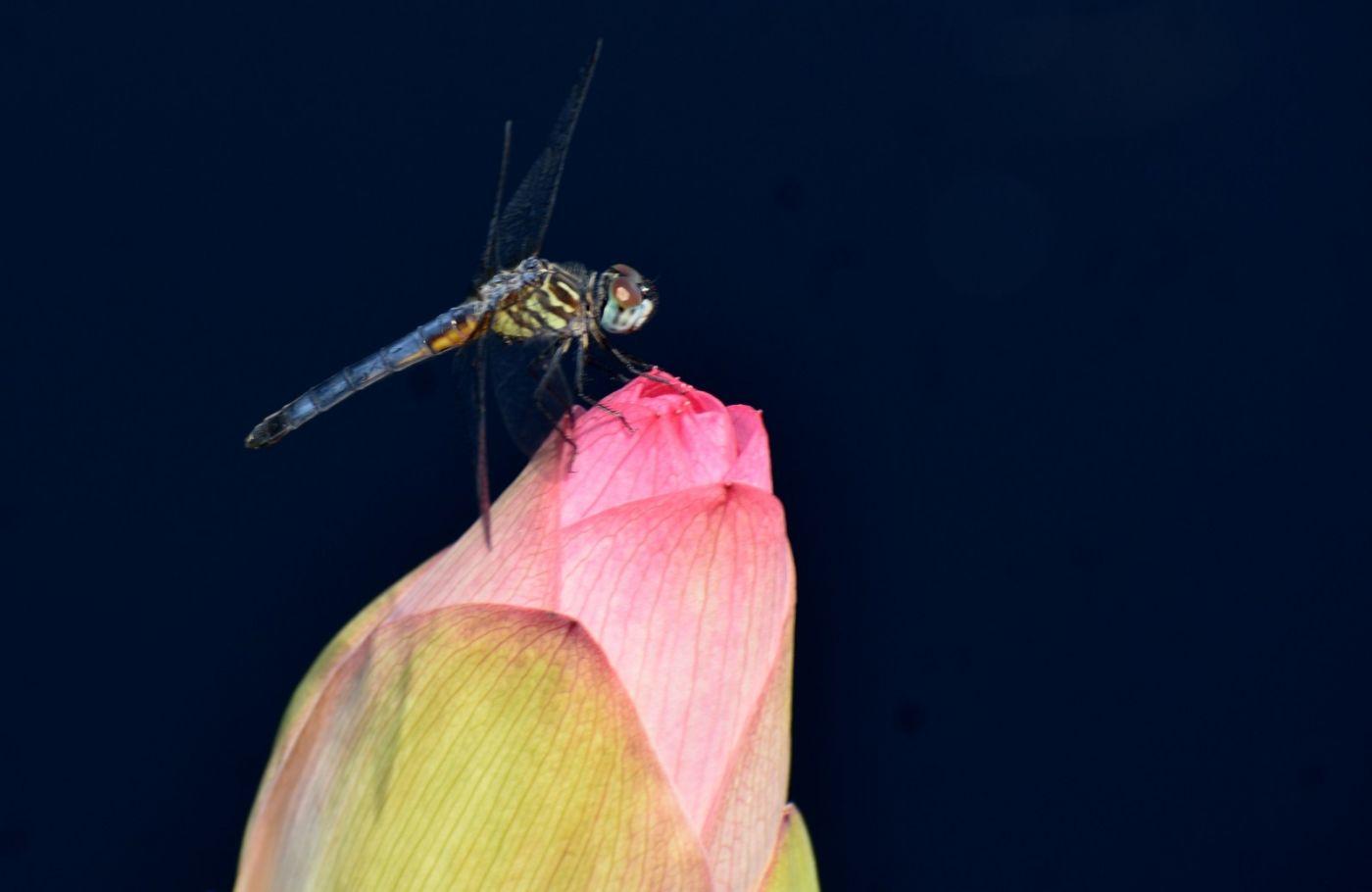 轻盈秀丽的蜻蜓_图1-5
