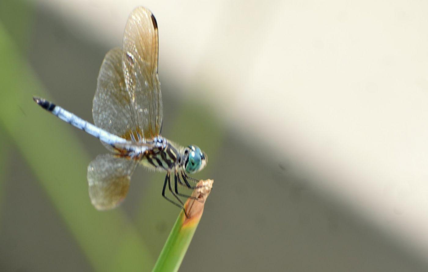 轻盈秀丽的蜻蜓_图1-7