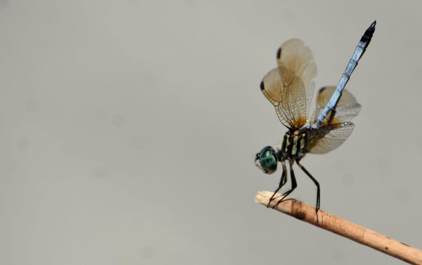 轻盈秀丽的蜻蜓_图1-9