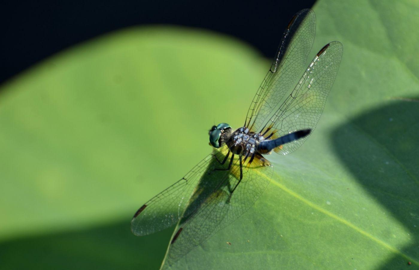 轻盈秀丽的蜻蜓_图1-11
