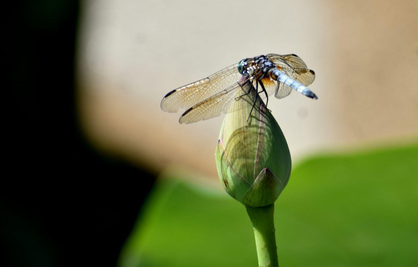 轻盈秀丽的蜻蜓_图1-17