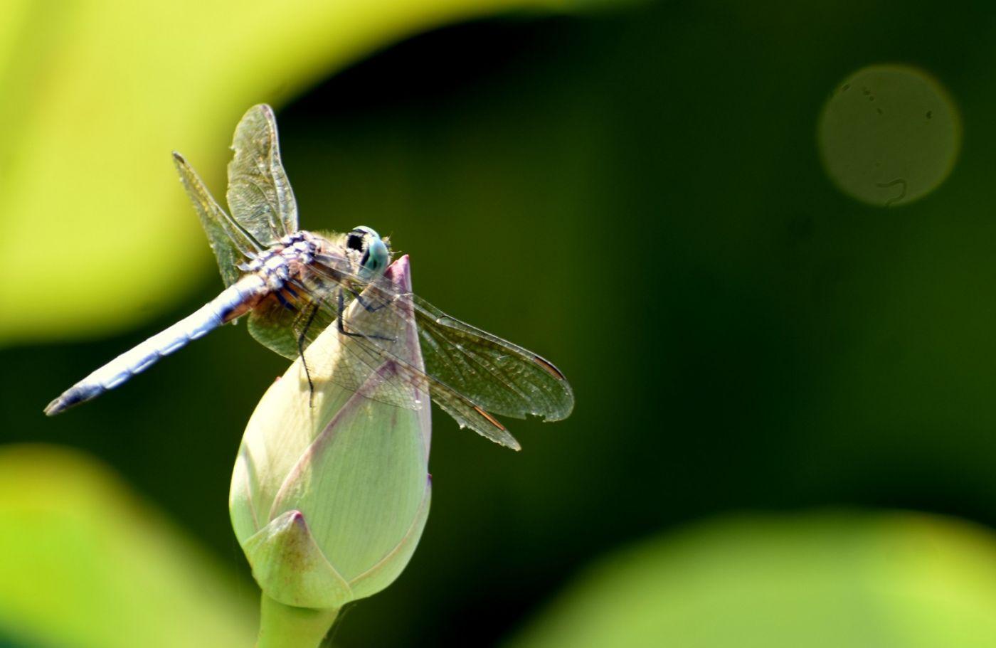 轻盈秀丽的蜻蜓_图1-18