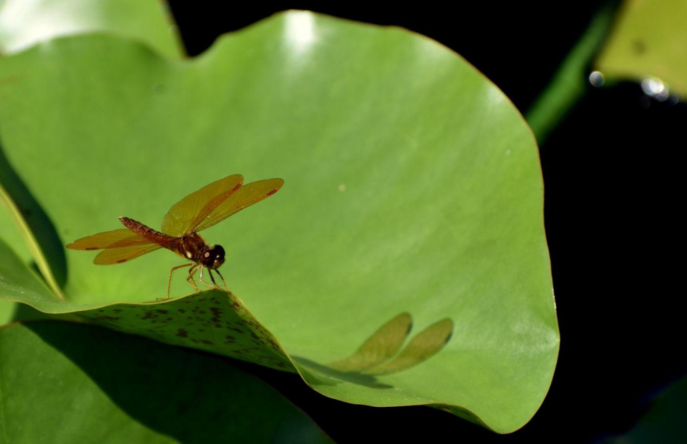 轻盈秀丽的蜻蜓_图1-21