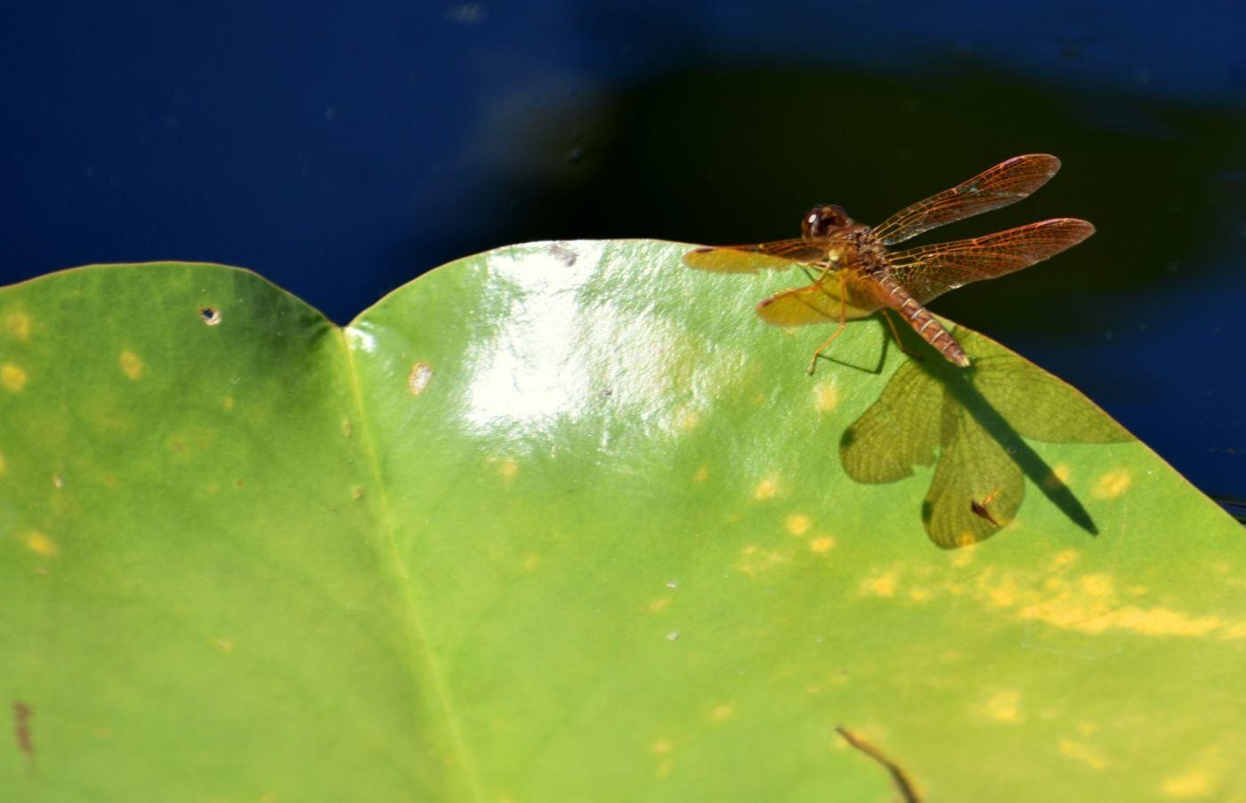轻盈秀丽的蜻蜓_图1-22