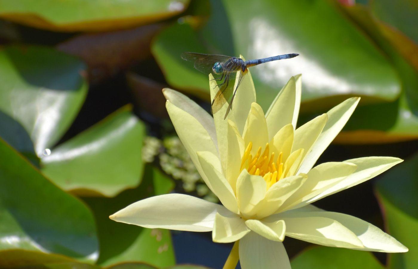 轻盈秀丽的蜻蜓_图1-23