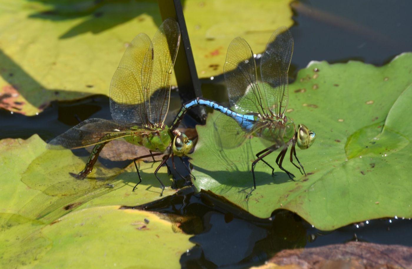 轻盈秀丽的蜻蜓_图1-25
