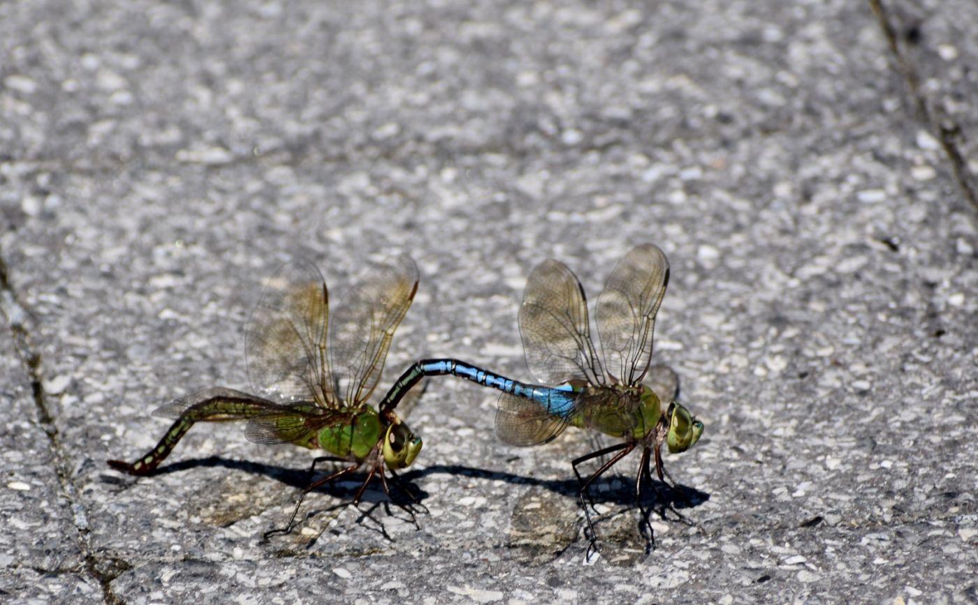 轻盈秀丽的蜻蜓_图1-26