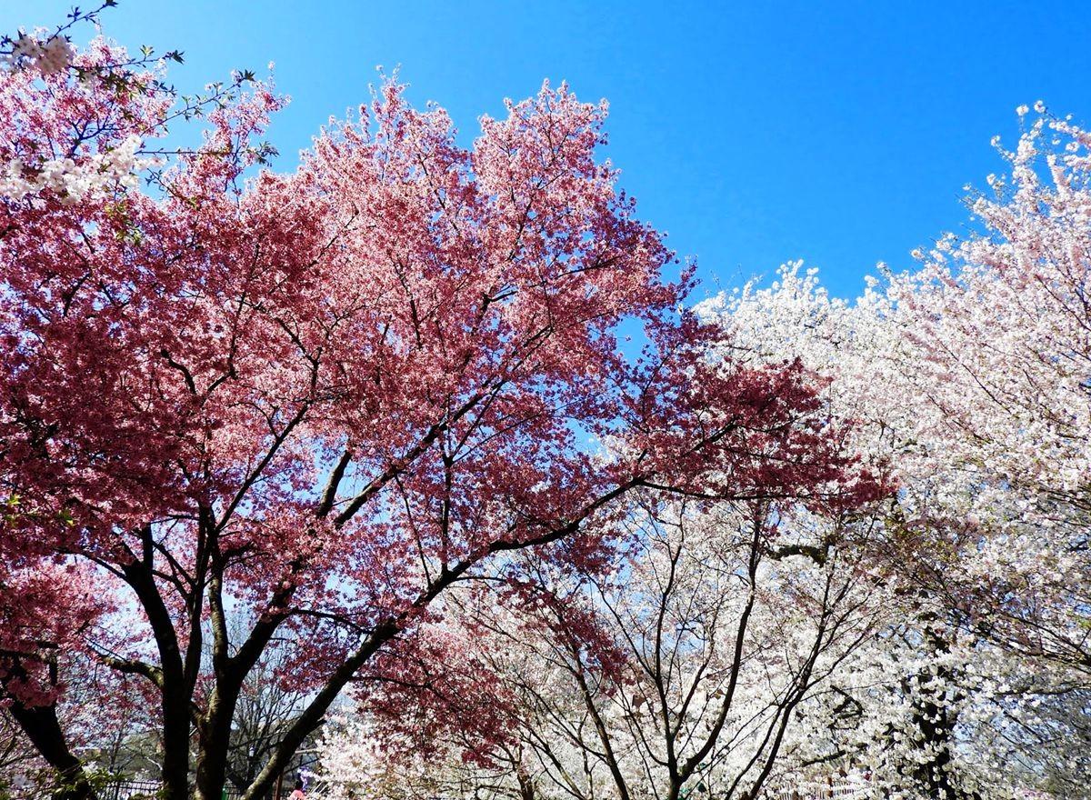 新泽西州樱花节_图1-3