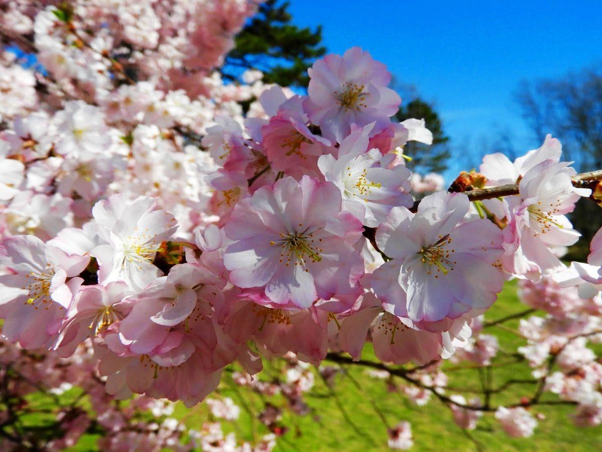 新泽西州樱花节_图1-4