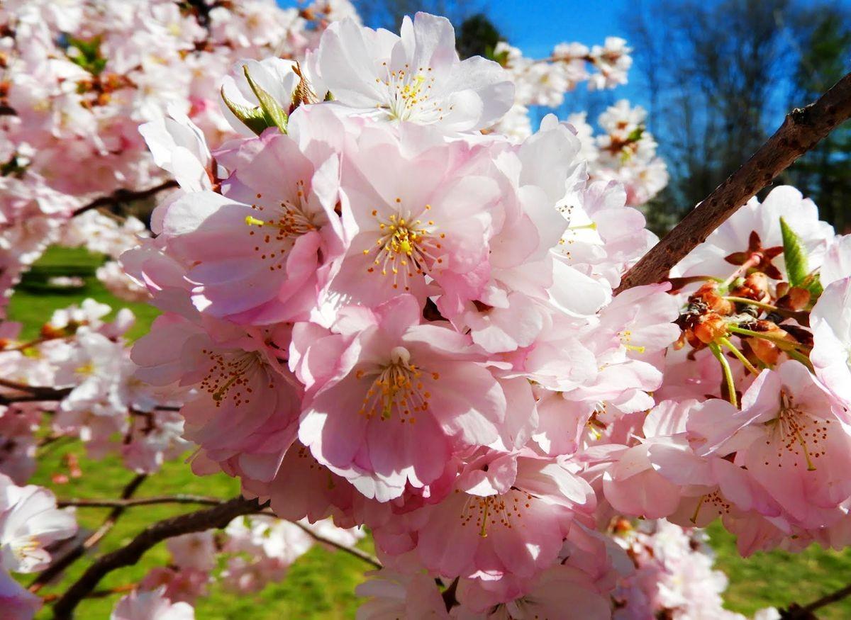 新泽西州樱花节_图1-5
