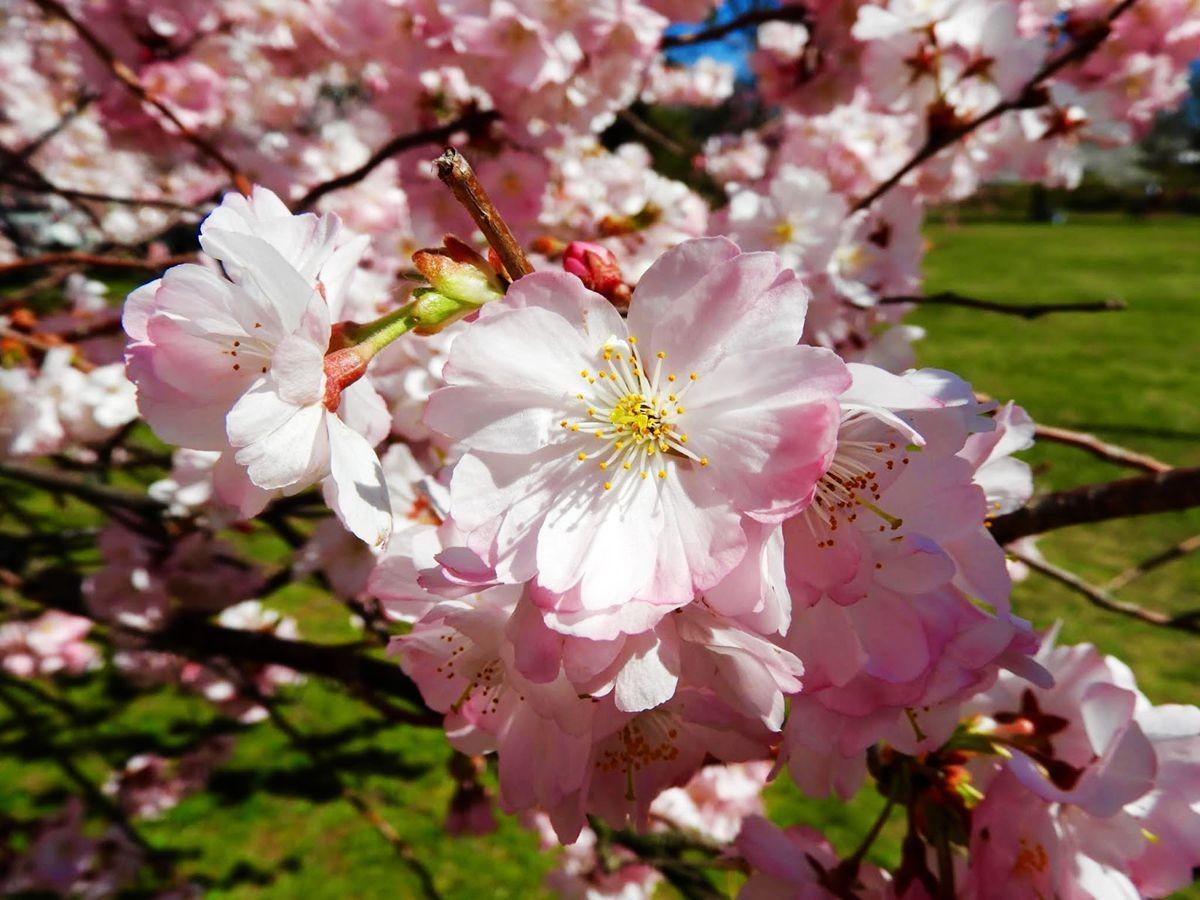 新泽西州樱花节_图1-6