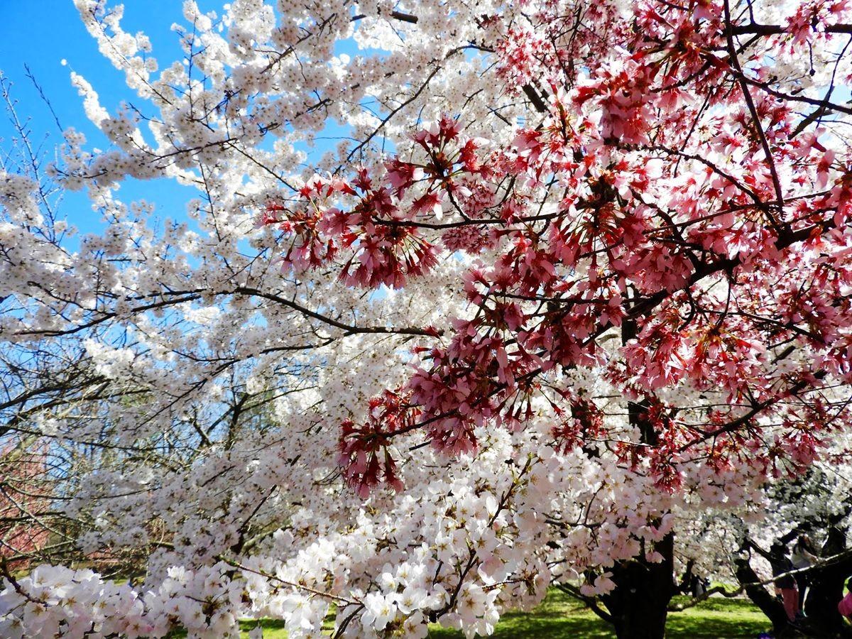 新泽西州樱花节_图1-7