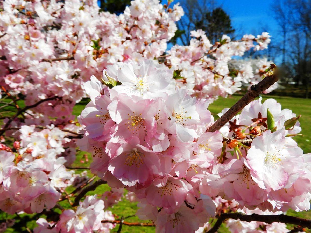 新泽西州樱花节_图1-8
