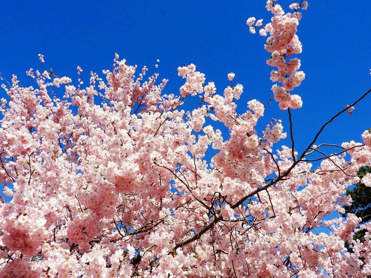 新泽西州樱花节_图1-9