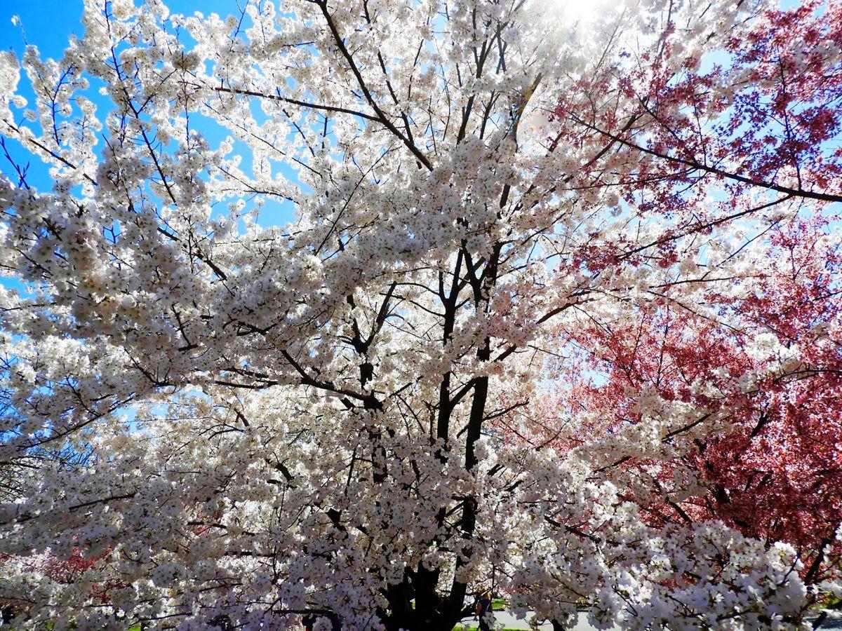 新泽西州樱花节_图1-10