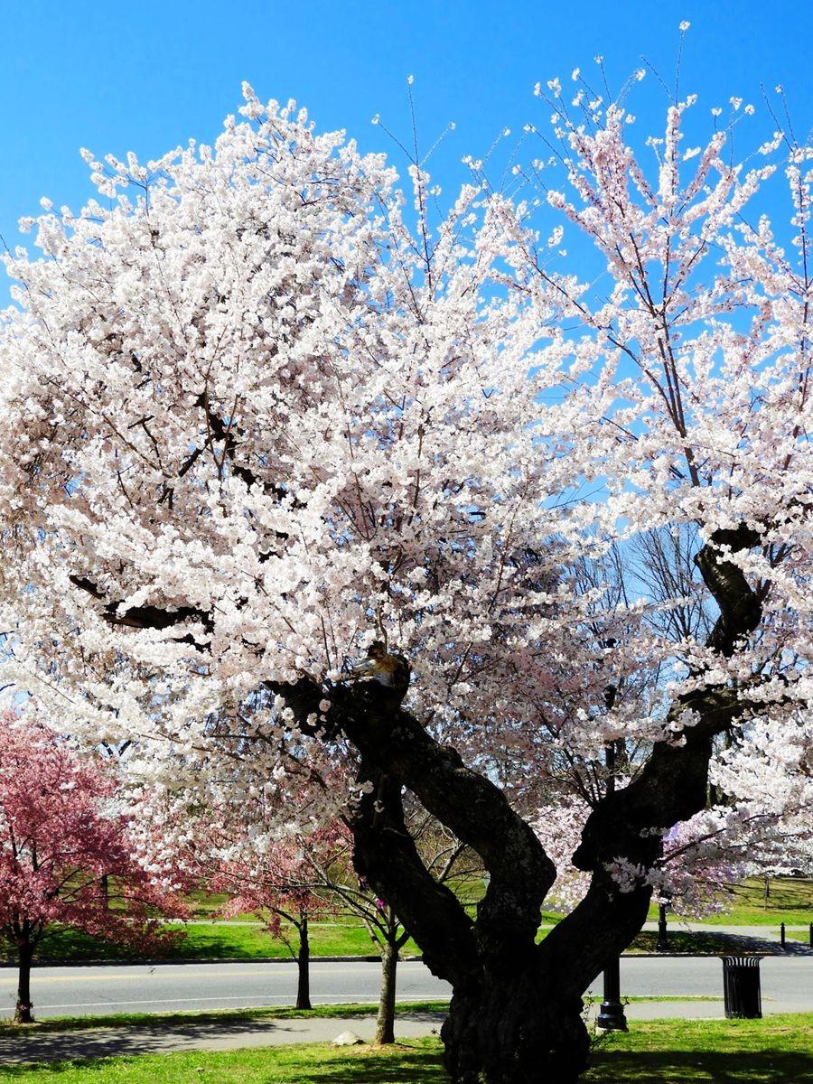 新泽西州樱花节_图1-12