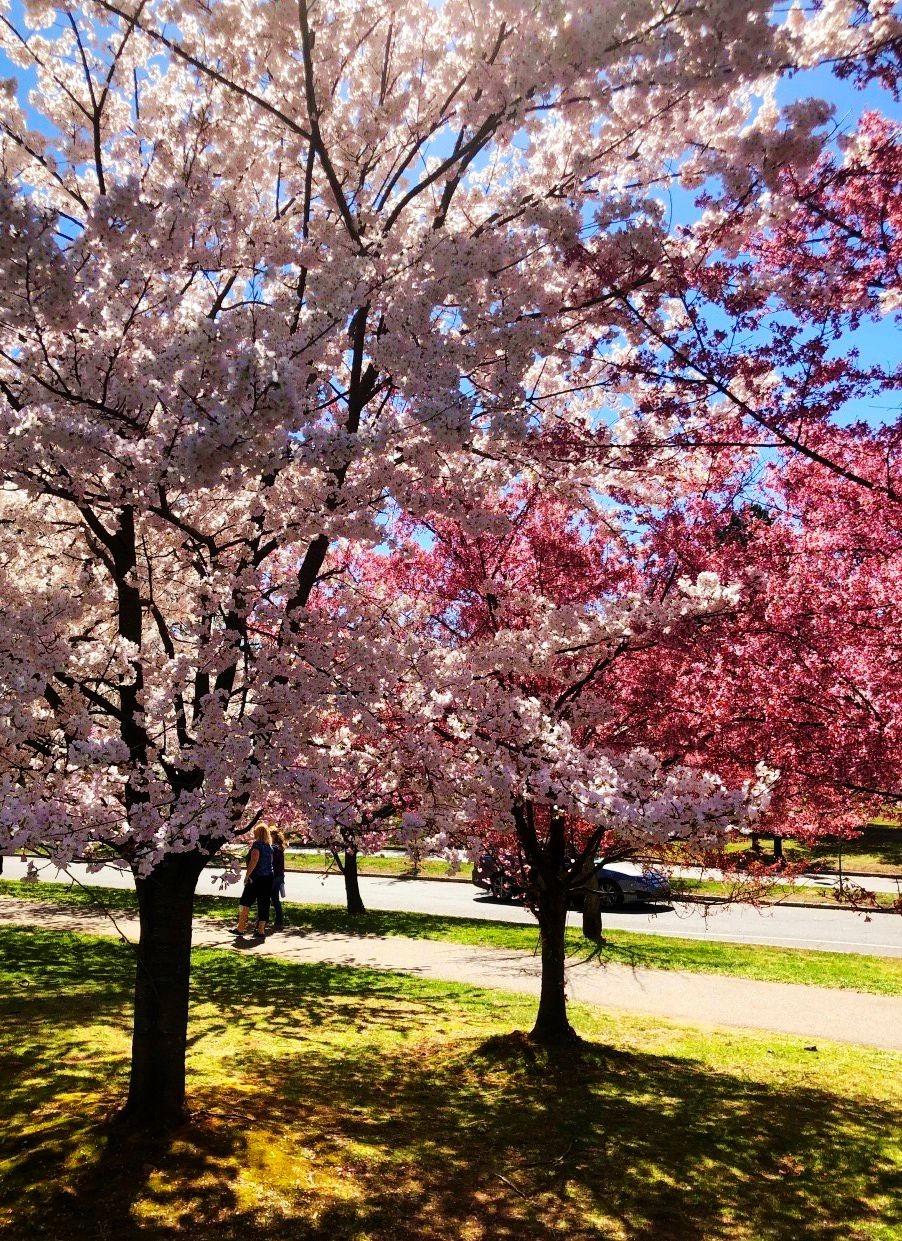 新泽西州樱花节_图1-14