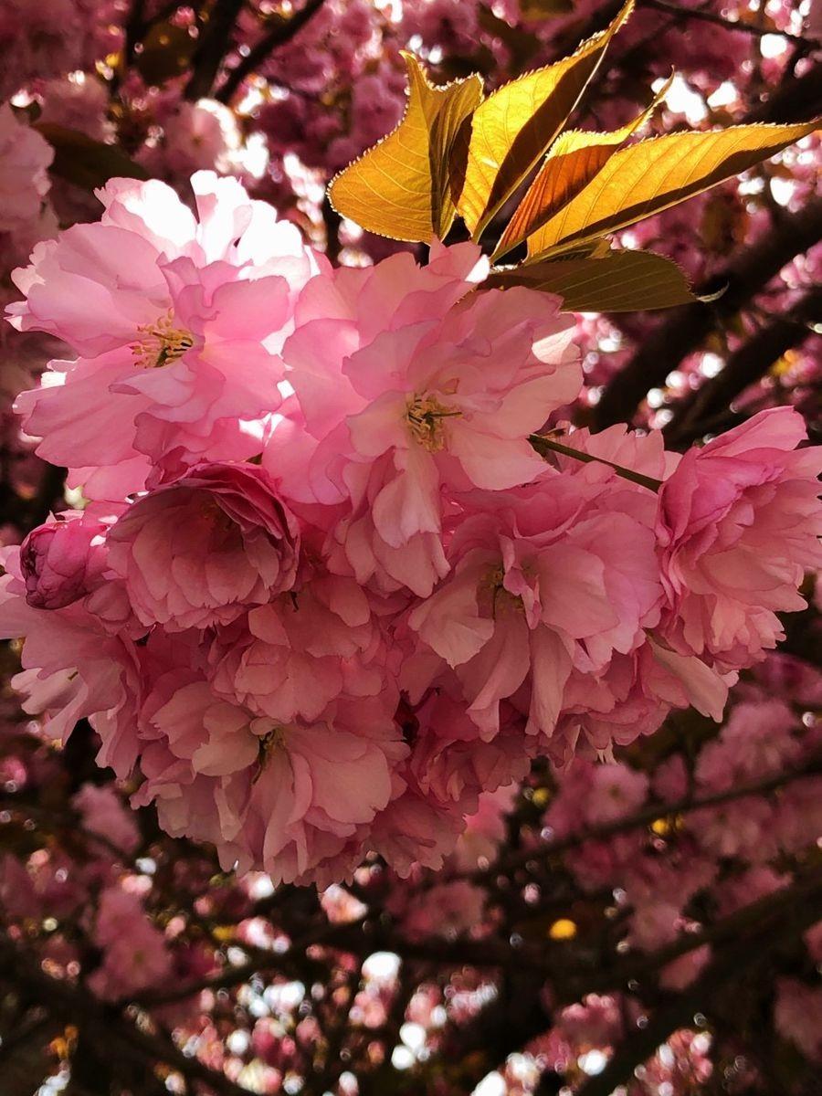 新泽西州樱花节_图1-16