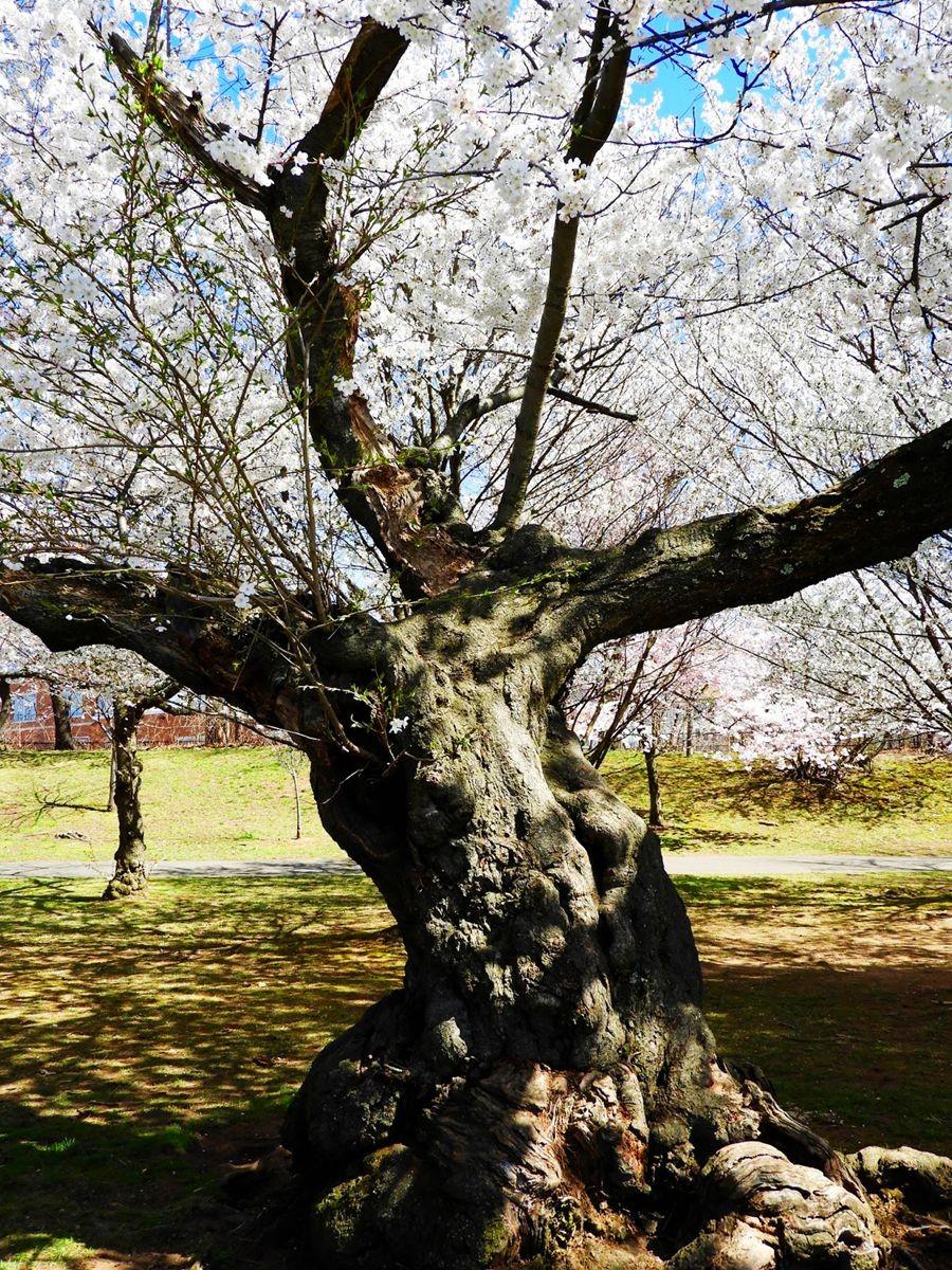 新泽西州樱花节_图1-17