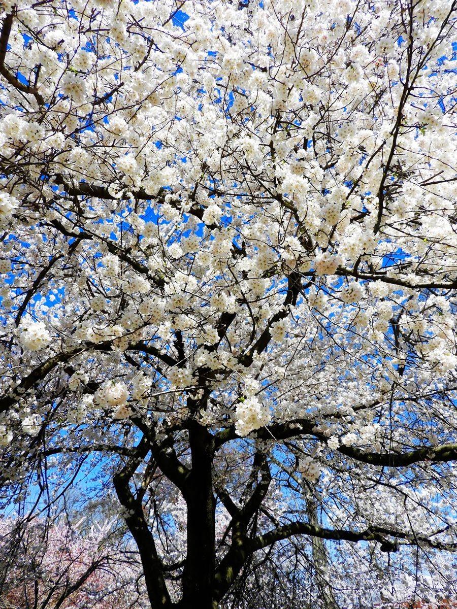 新泽西州樱花节_图1-18