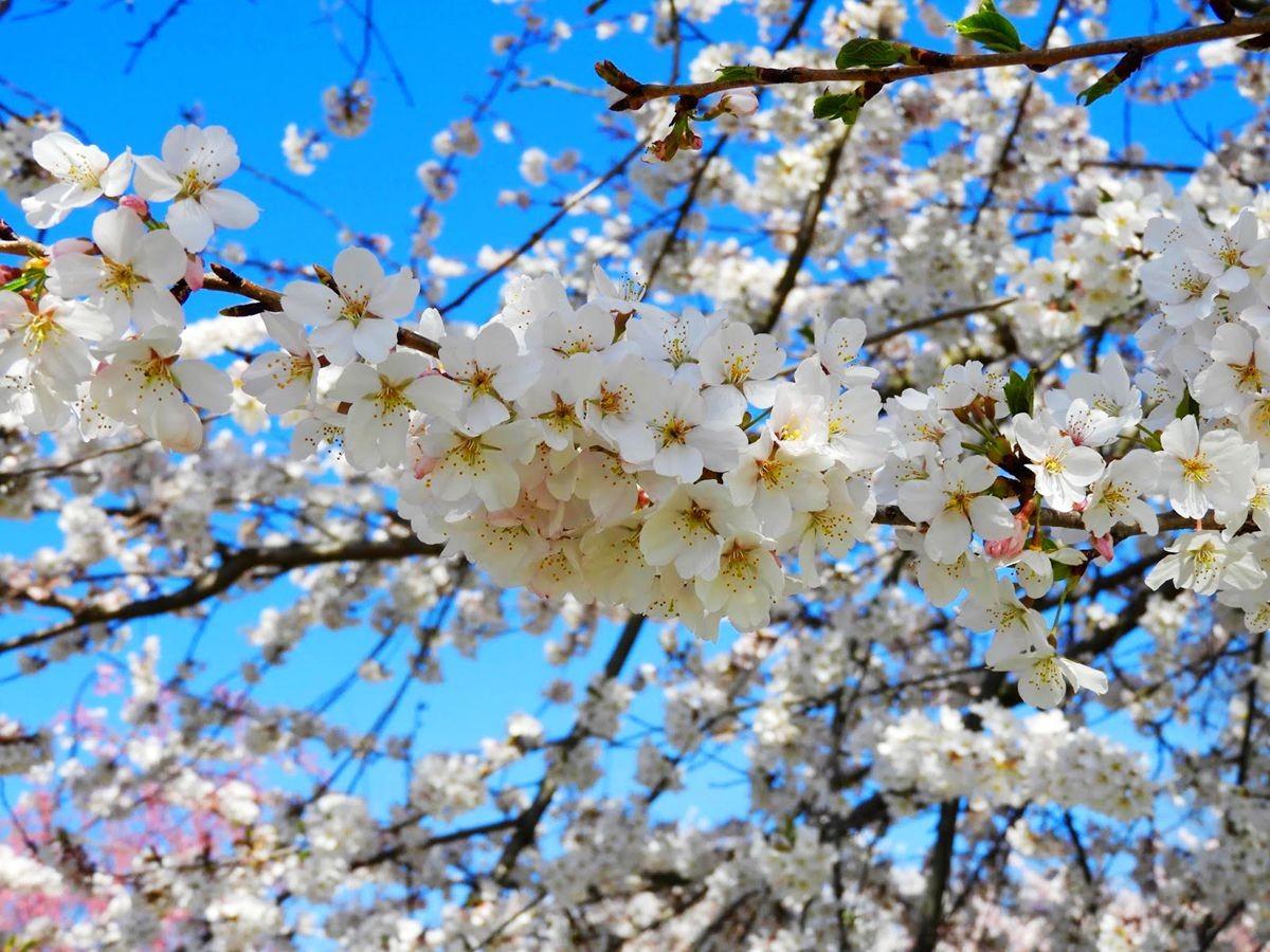 新泽西州樱花节_图1-19