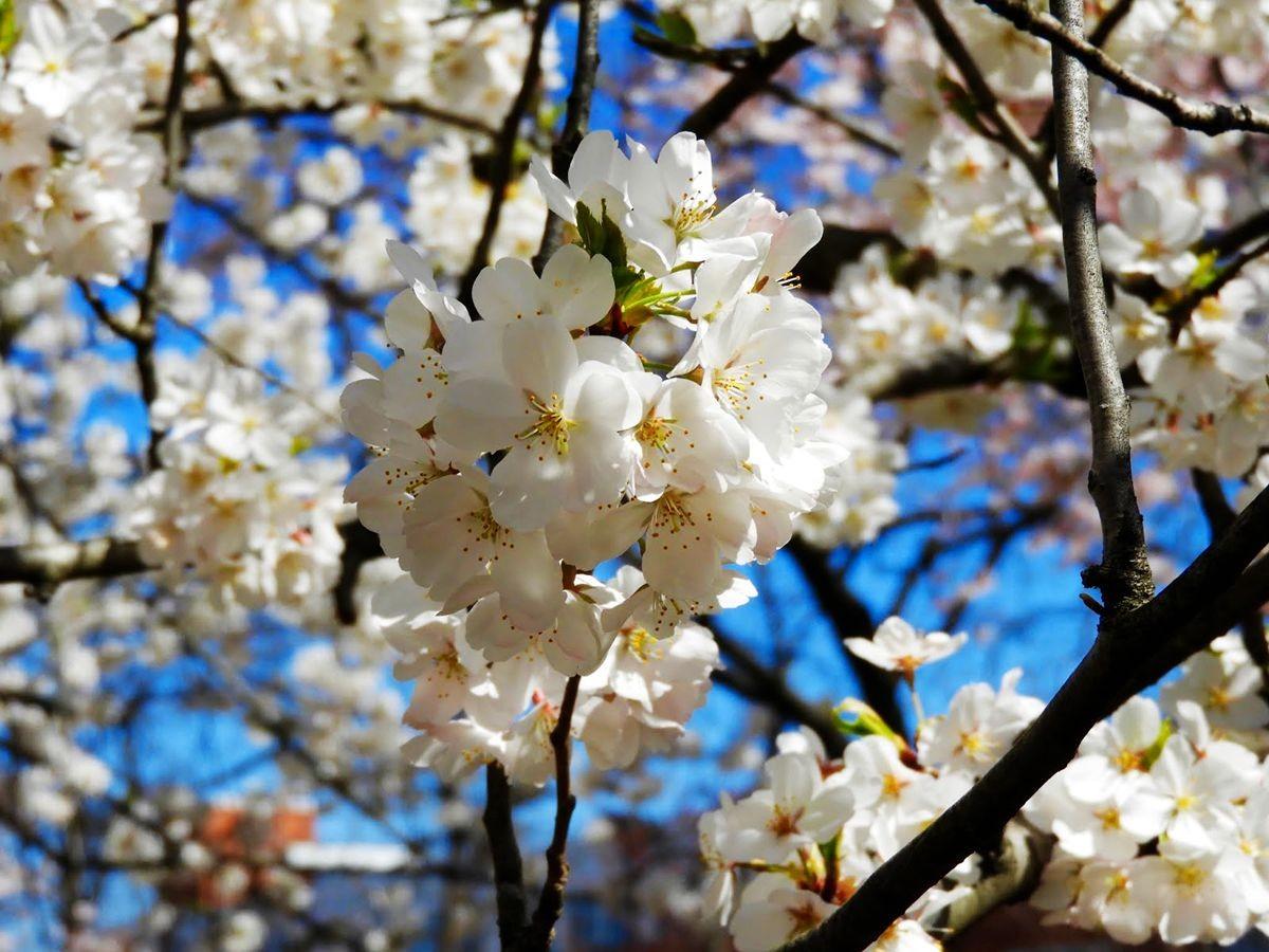 新泽西州樱花节_图1-20