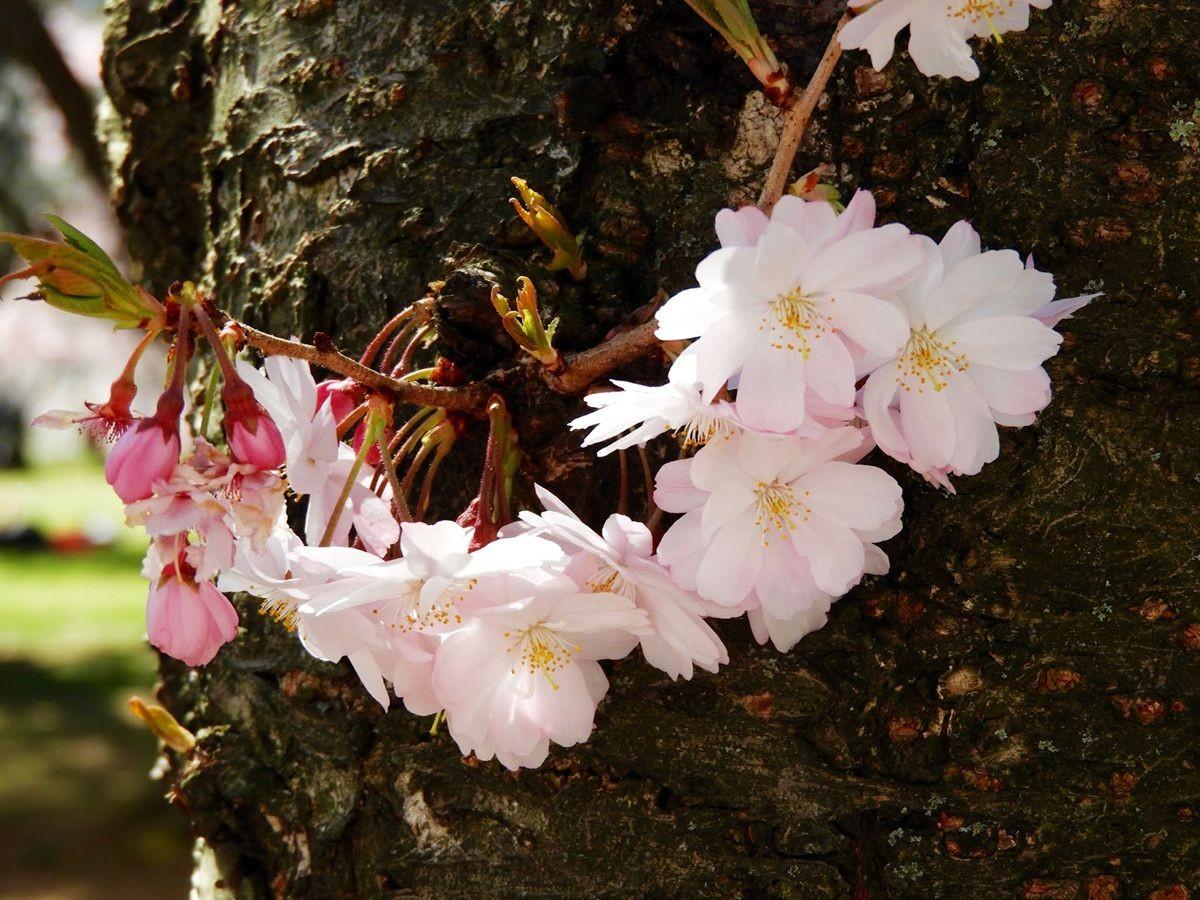 新泽西州樱花节_图1-21