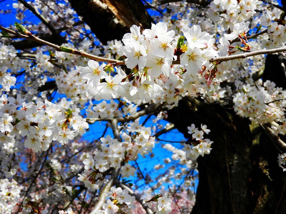 新泽西州樱花节_图1-22