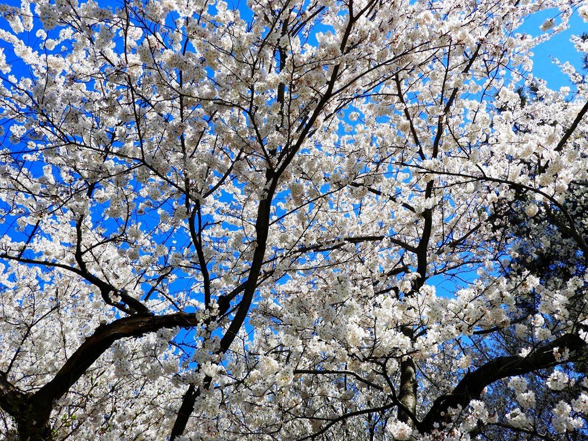 新泽西州樱花节_图1-23