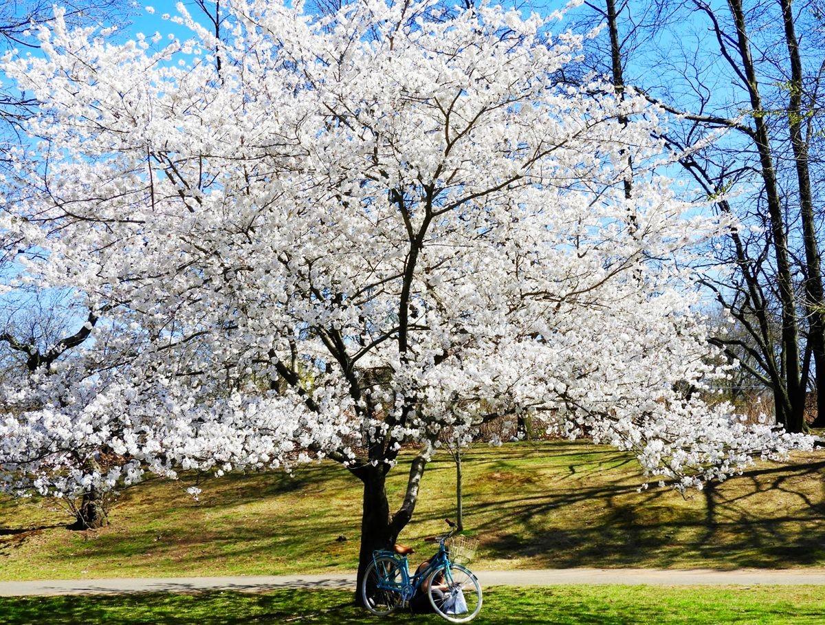 新泽西州樱花节_图1-24