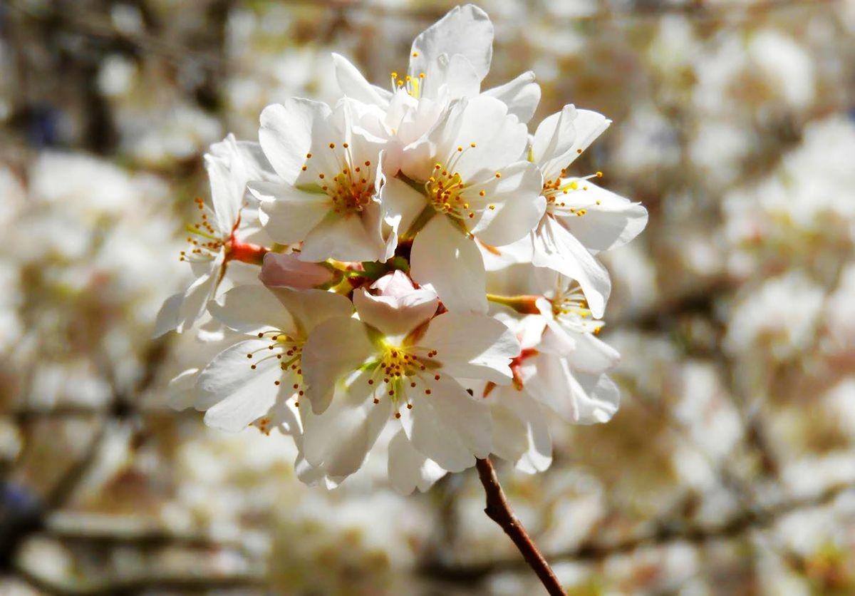 新泽西州樱花节_图1-25
