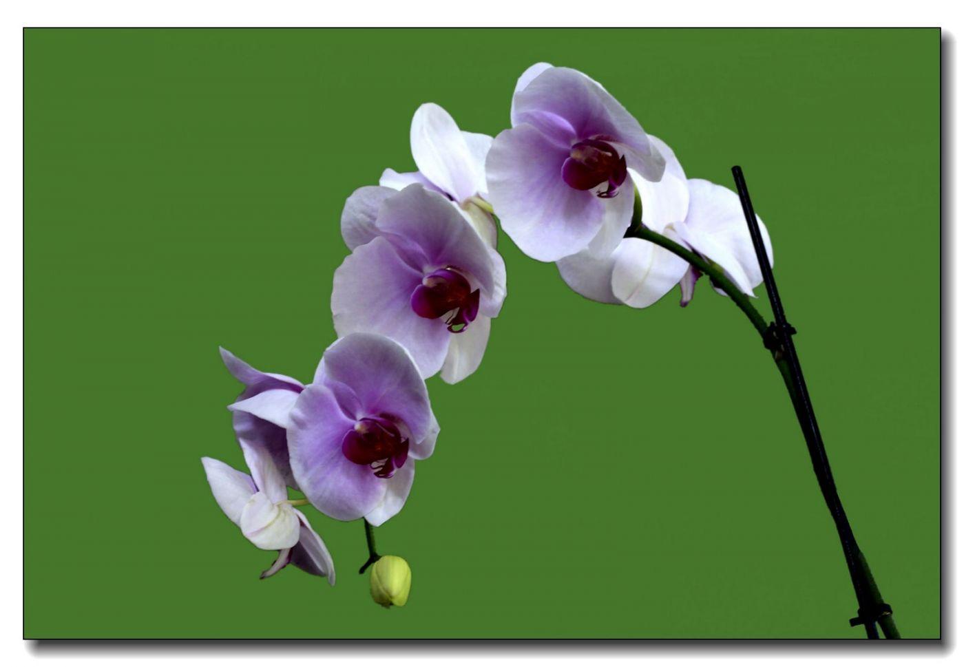 皇后区植物园兰花展随拍_图1-7