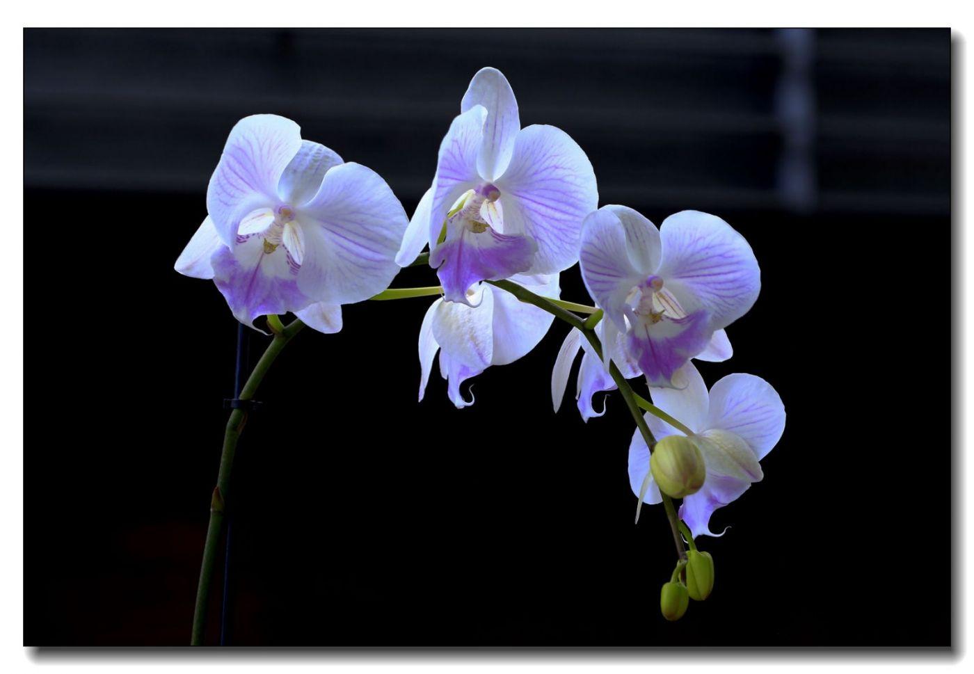 皇后区植物园兰花展随拍_图1-22