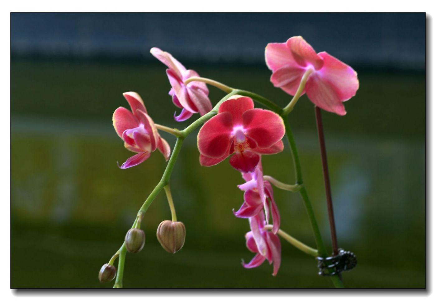 皇后区植物园兰花展随拍_图1-24