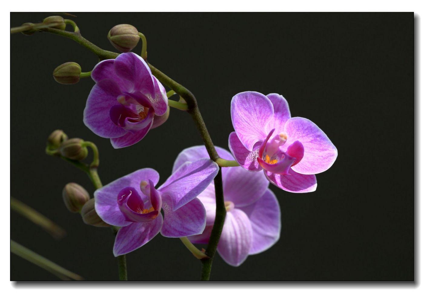 皇后区植物园兰花展随拍_图1-26