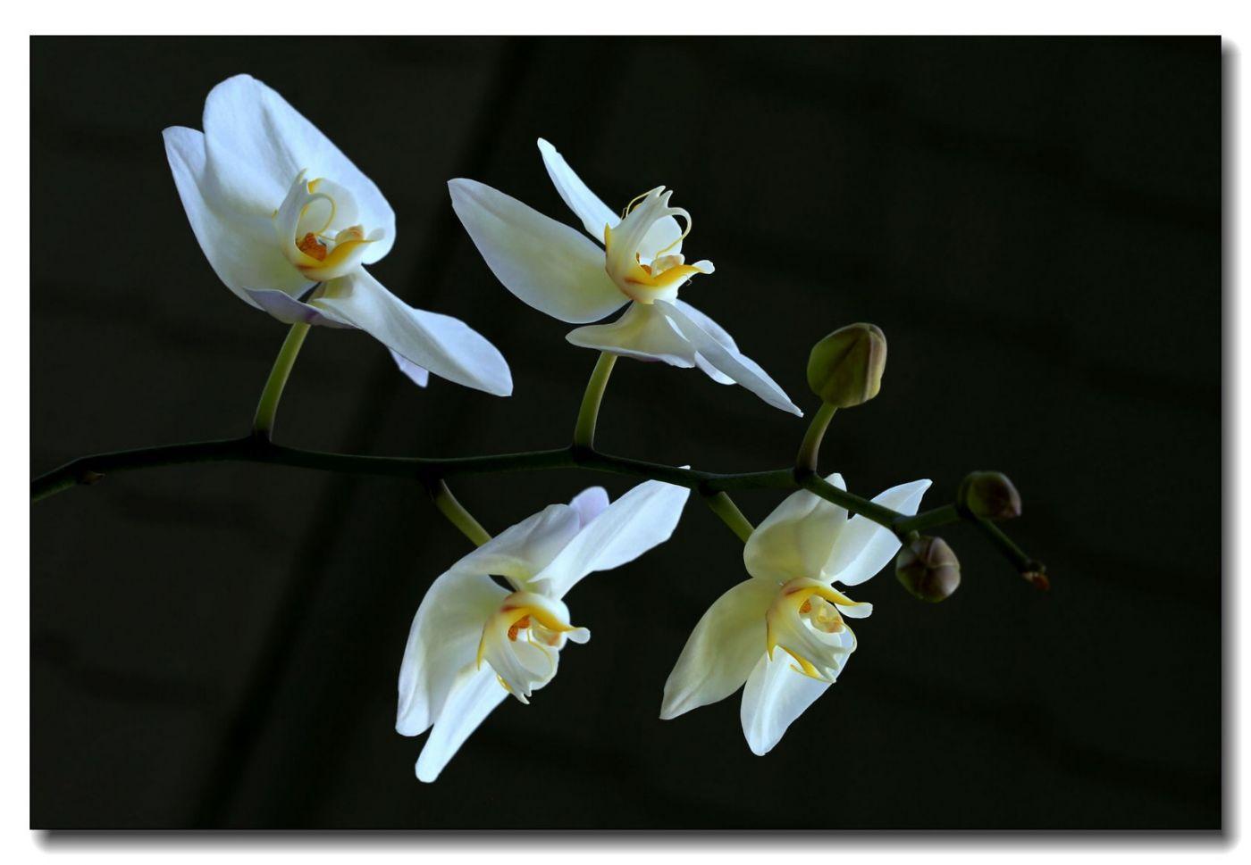 皇后区植物园兰花展随拍_图1-28