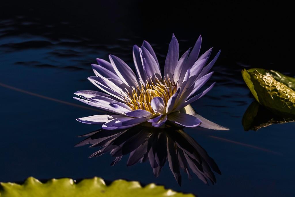 莲花,水中倩影_图1-3