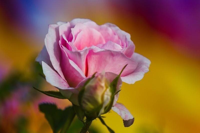 玫瑰花,水中花_图1-2