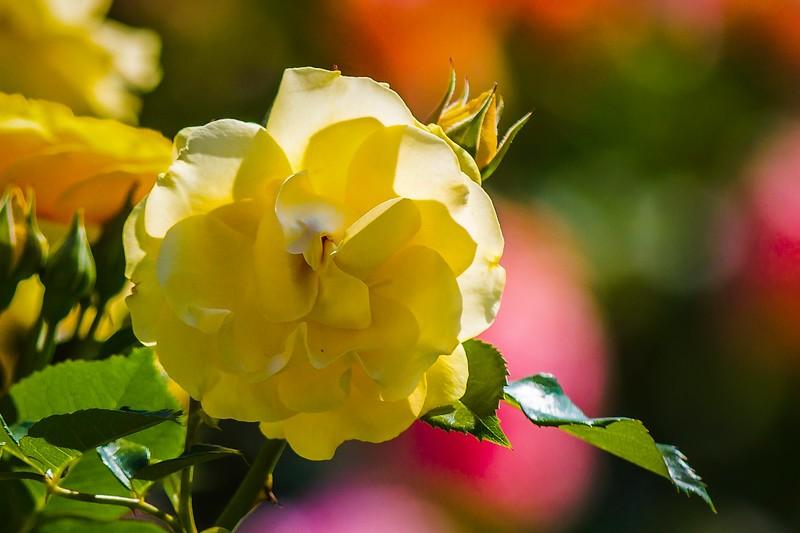 玫瑰花,水中花_图1-3