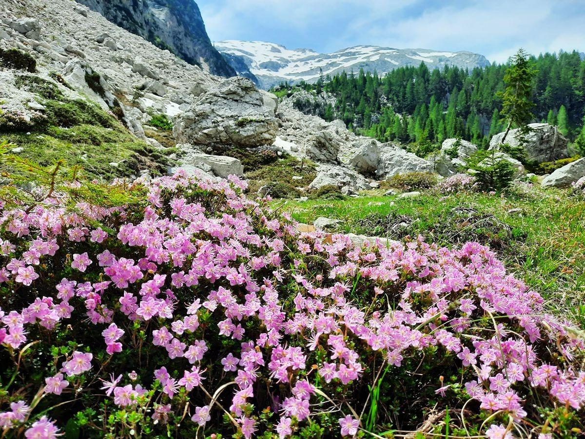 Pokljuka高原山上的野花_图1-5
