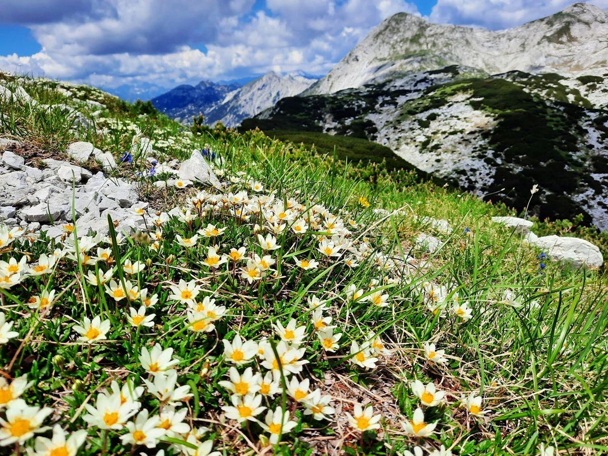 Pokljuka高原山上的野花_图1-21