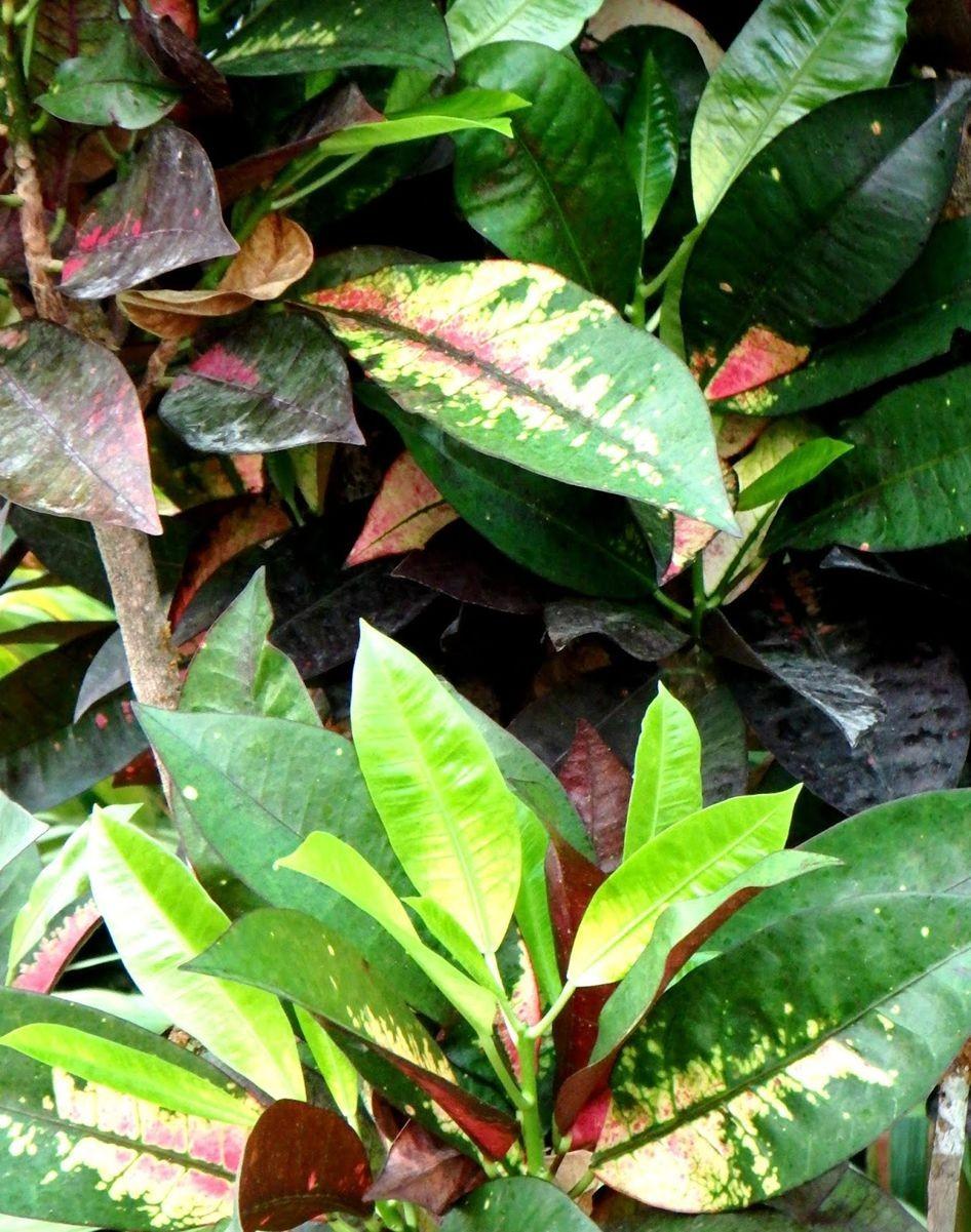 变叶木与龙骨柱_图1-3