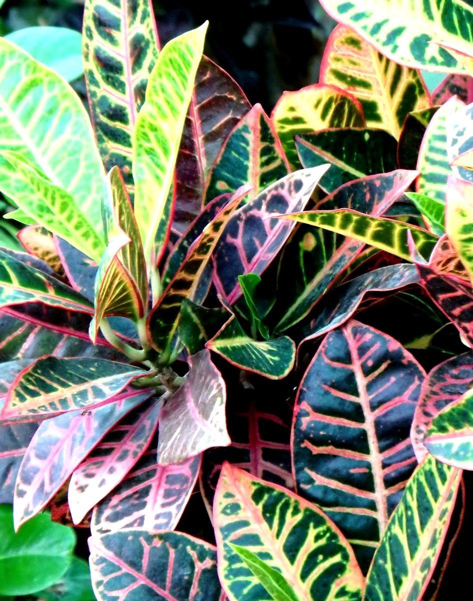 变叶木与龙骨柱_图1-7
