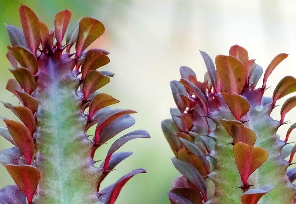 变叶木与龙骨柱_图1-12