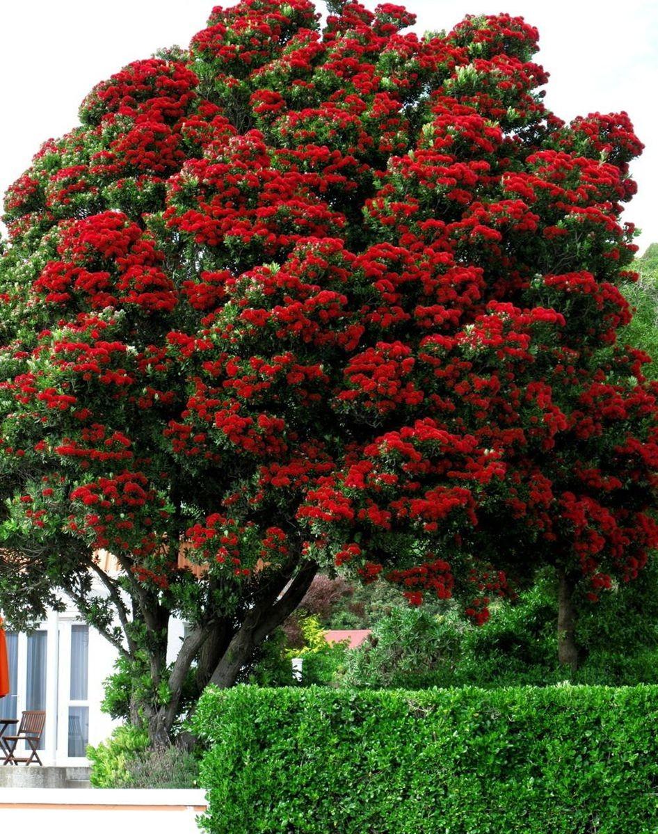 新西兰圣诞树_图1-2