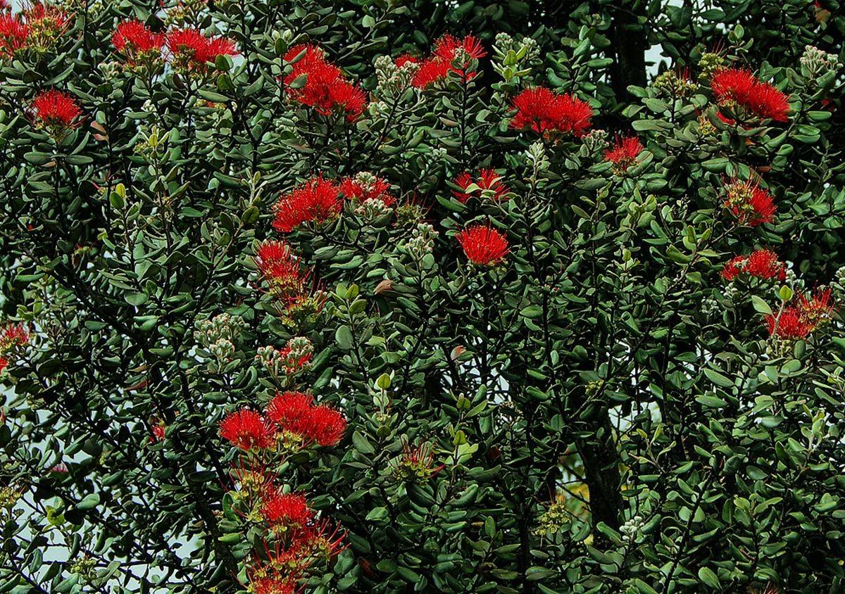 新西兰圣诞树_图1-3