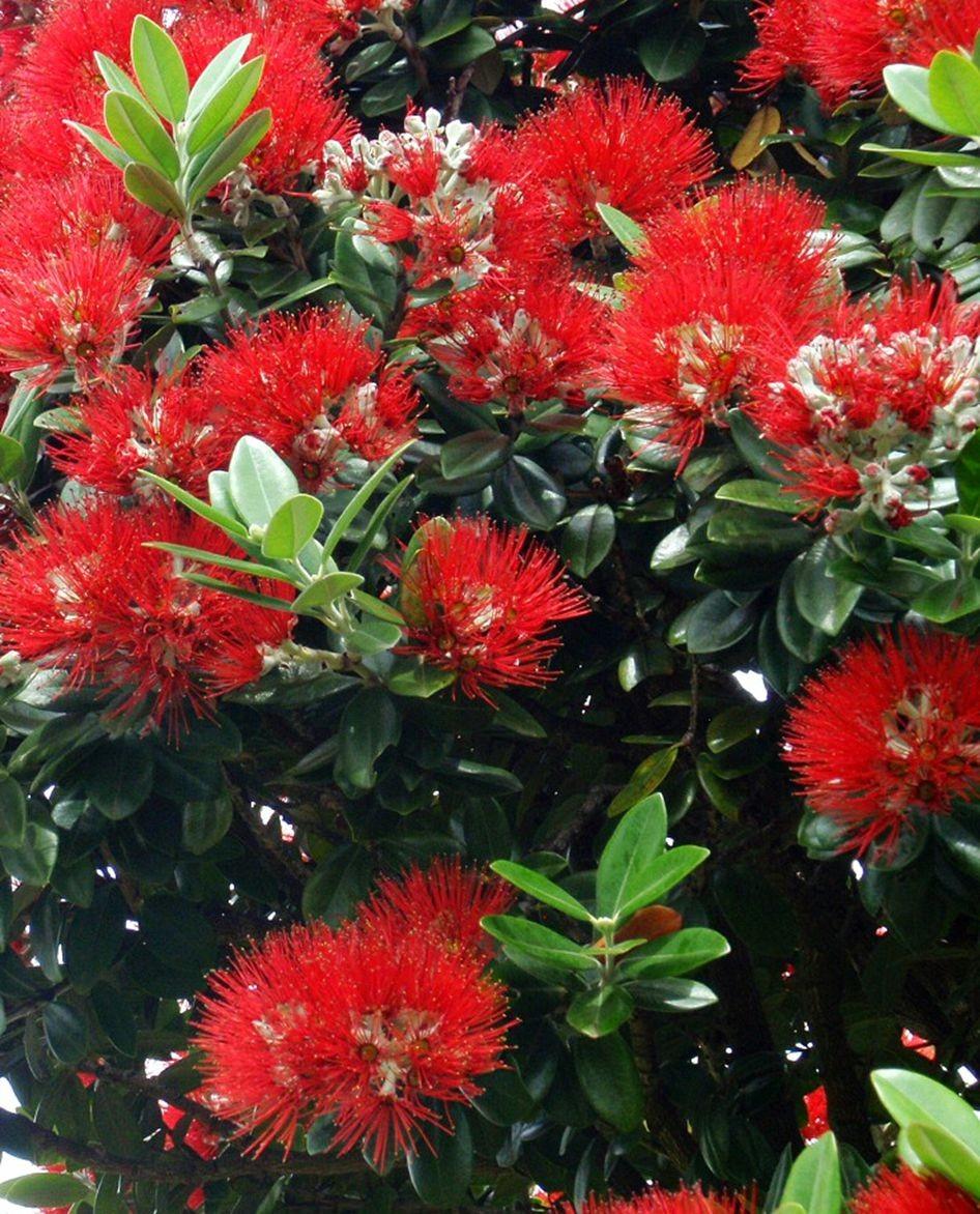 新西兰圣诞树_图1-4