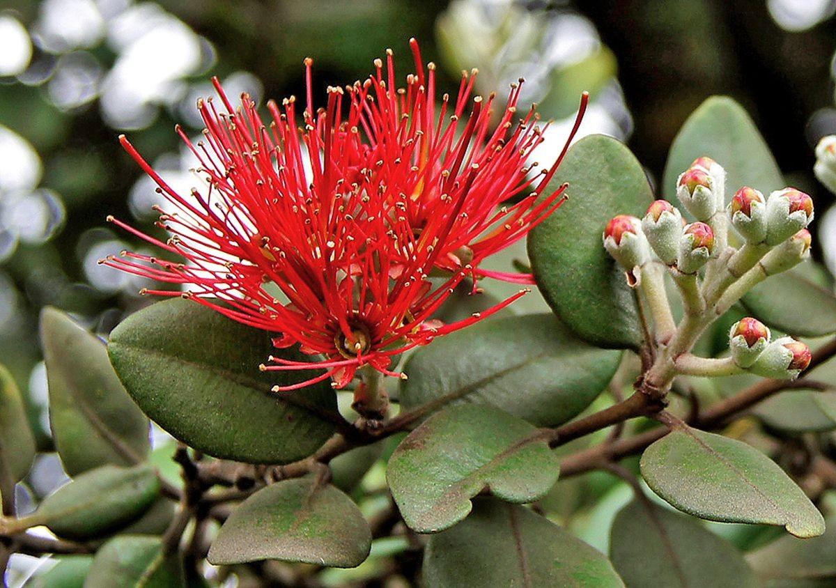 新西兰圣诞树_图1-6
