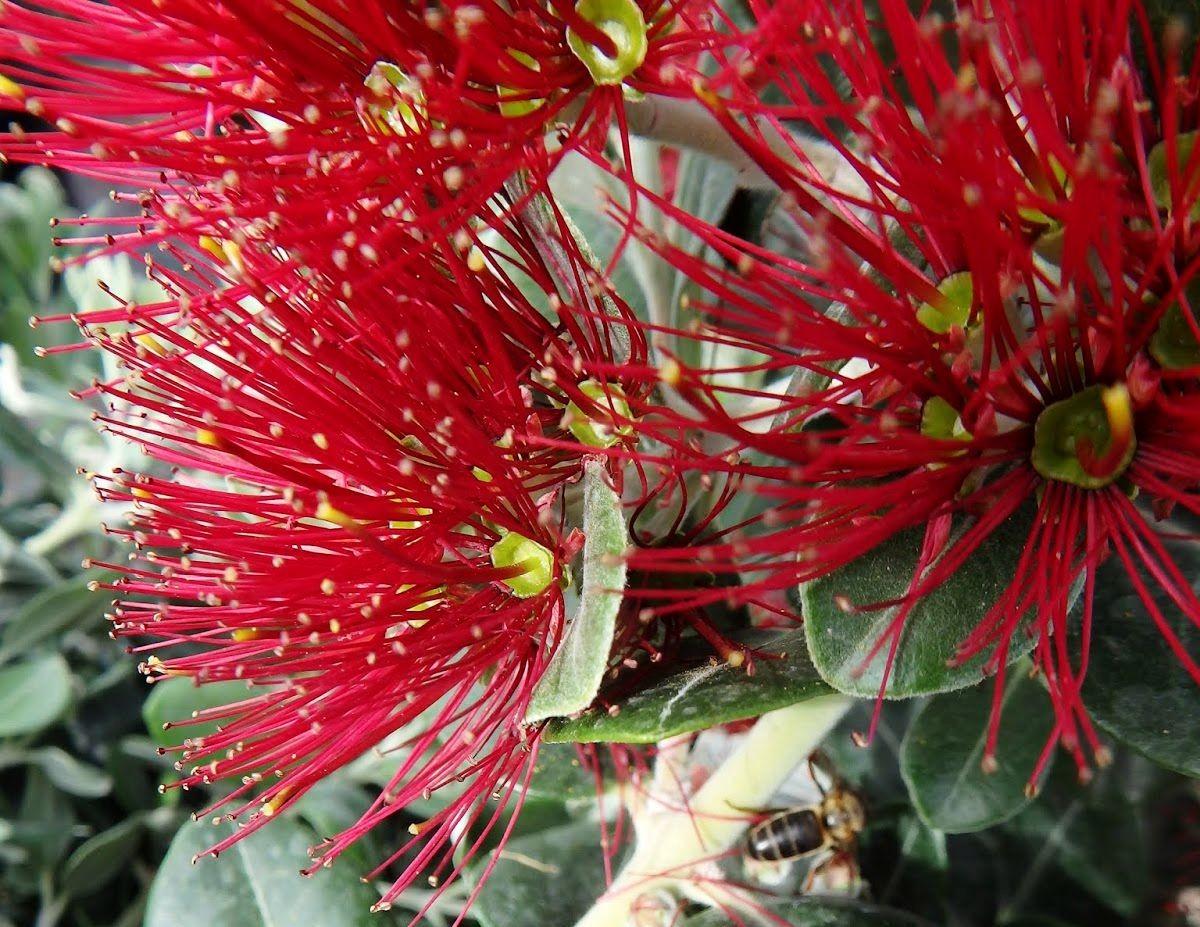 新西兰圣诞树_图1-8